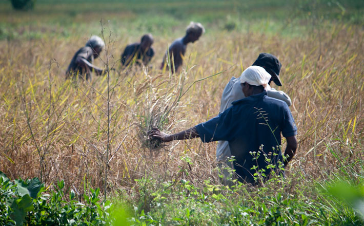 Men weeding a field
