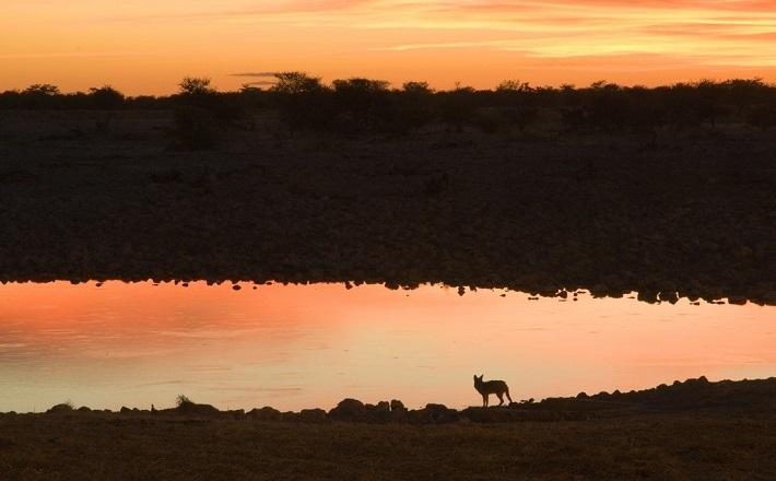 Jackal at Sunset