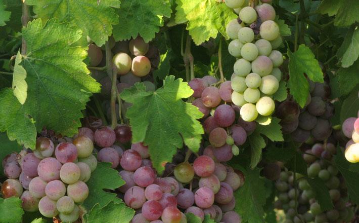 It's Harvest Time in Bekaa Valley, Lebanon