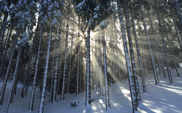 snowy trees in forest with sunlight