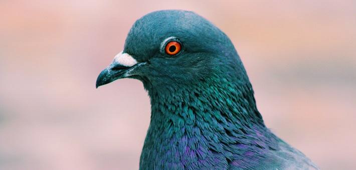 Pigeon looking left
